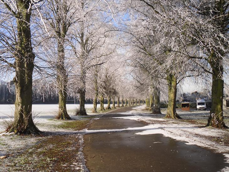 Lime trees along the avenue